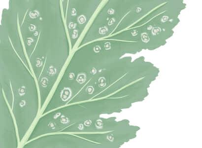 白さび病におかされたダイコンの茎葉
