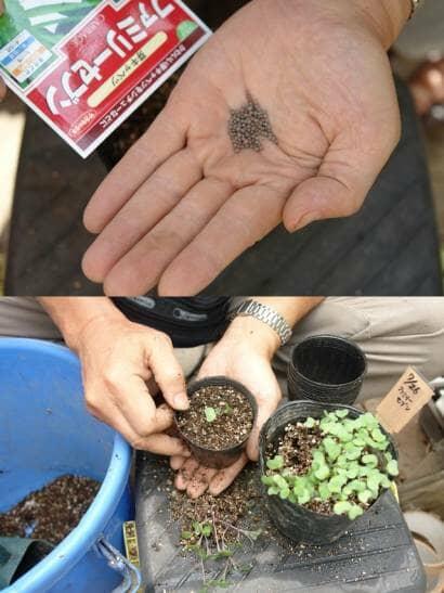 芽キャベツの種まきと鉢上げ