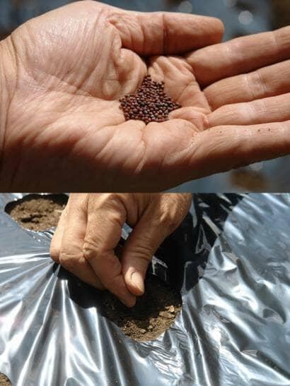 カラシナの種まき