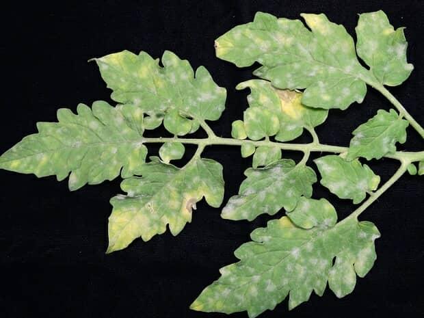 うどんこ病が発症したトマトの葉