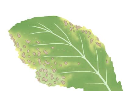 炭疽病におかされたダイコンの茎葉
