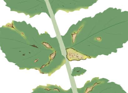 黒斑細菌病におかされたダイコンの茎葉