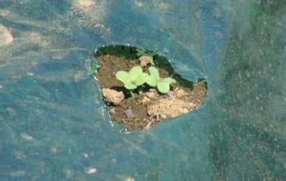 カラシナの芽