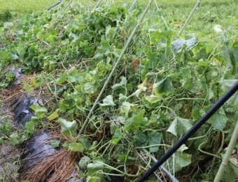 菜園の台風被害