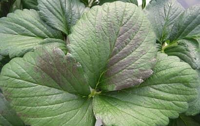 紫外線によって葉焼け症状を起こしたイチゴ葉
