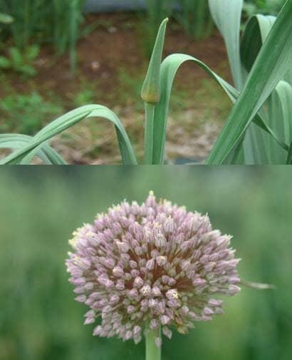 ニンニクの花茎と花