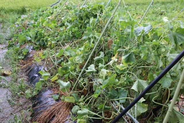 家庭菜園の台風被害