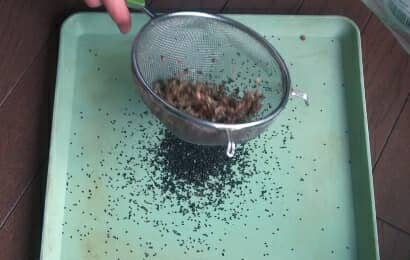 茶こしでバジルの種を分ける