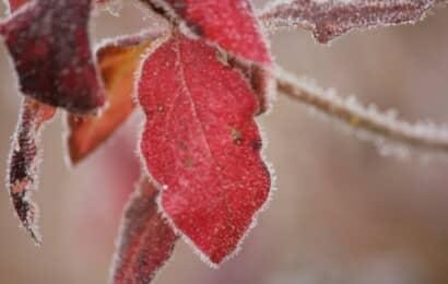 霜がついた赤い葉