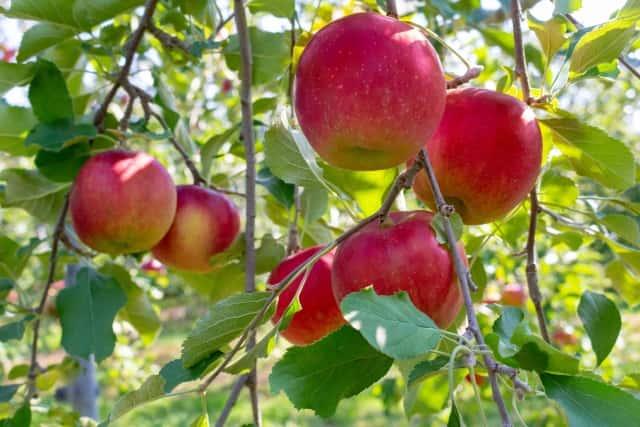 「バーチャルリンゴ狩り」開催概要