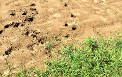 畑にイノシシの足跡