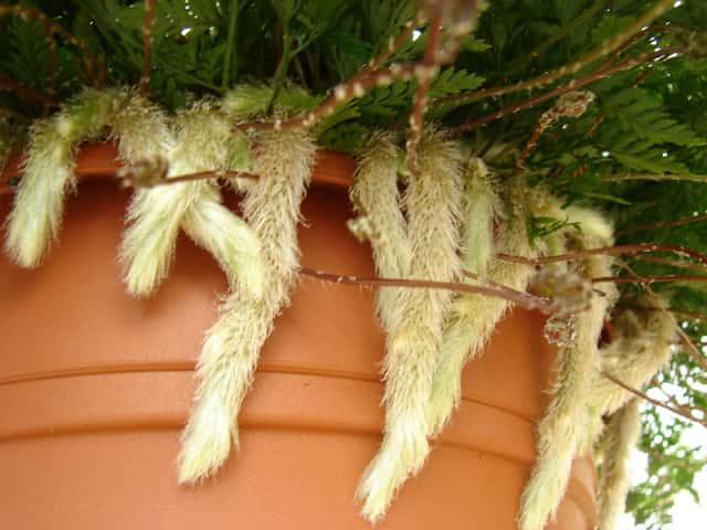 ダバリアの根茎