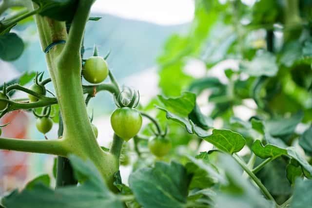 トマトの葉と実