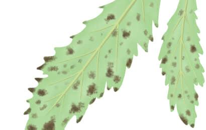 葉すす病におかされたオクラの葉