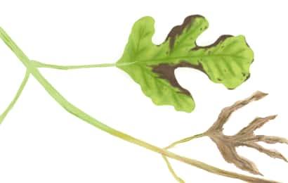 疫病におかされたスイカの茎葉