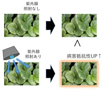 イチゴの紫外線照射実験イラスト