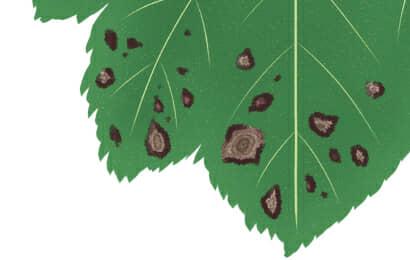 輪紋病におかされたオクラの葉