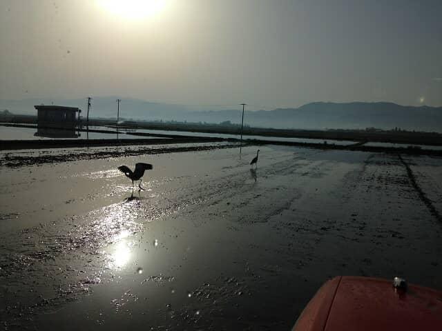 鳥がいる田んぼの風景