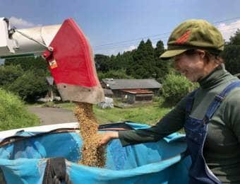 米の収穫をする女性農家