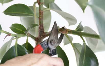 ゴムノキの枝をカット