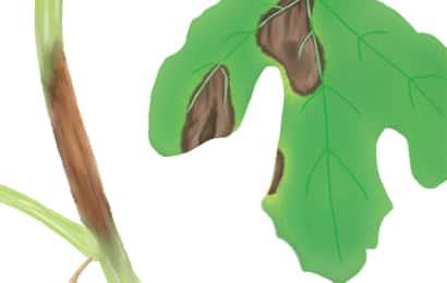 つる枯病におかされたスイカの茎葉