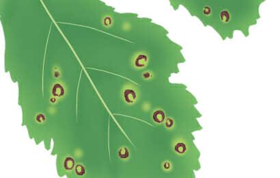 褐斑病におかされたオクラの葉