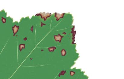 葉枯細菌病におかされたオクラの葉