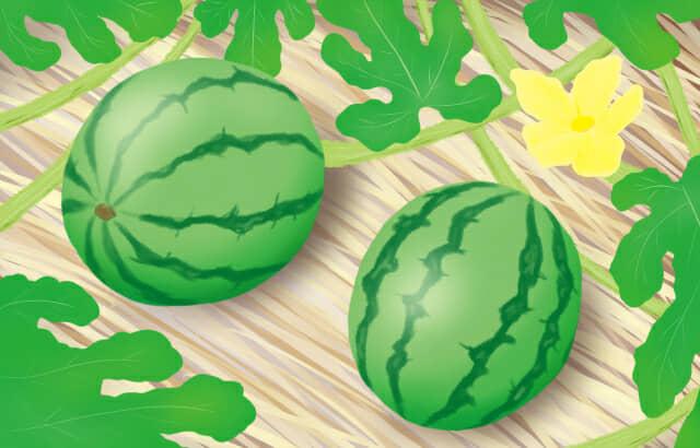 スイカの果実が大きく実ったスイカ栽培