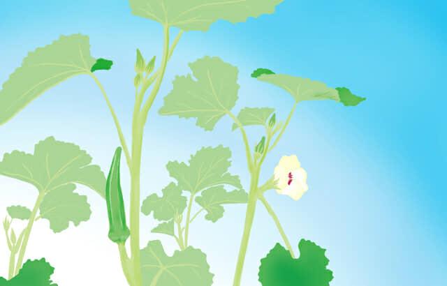 オクラとオクラの花が咲いているオクラの栽培