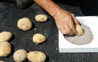 種芋に草木灰をつける様子