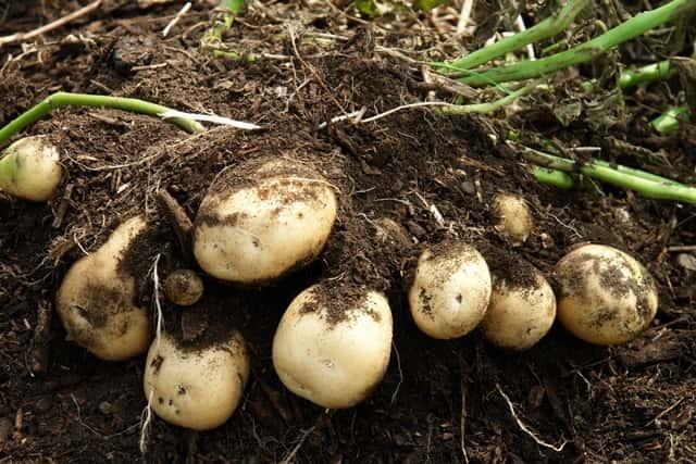土中のジャガイモ