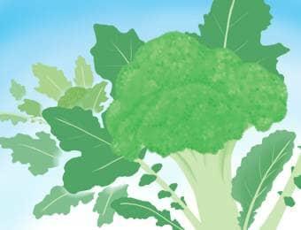 ブロッコリー栽培のイラスト