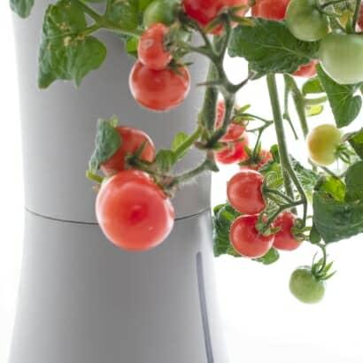 育てられる野菜(トマト)