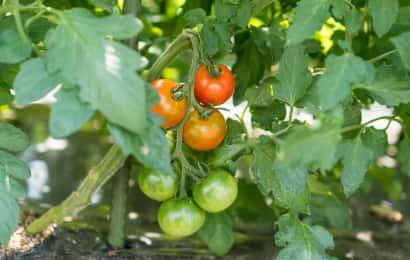 色づき始めた梶原さんのトマト