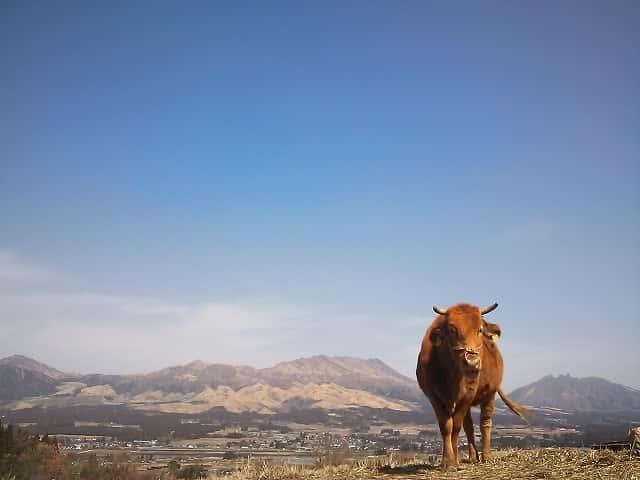 阿蘇の山と牛