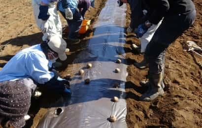 ジャガイモのマルチ栽培