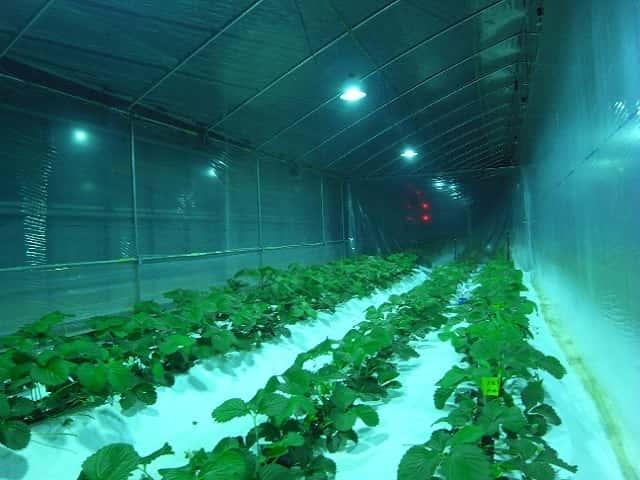 施設栽培におけるUVBの夜間照射