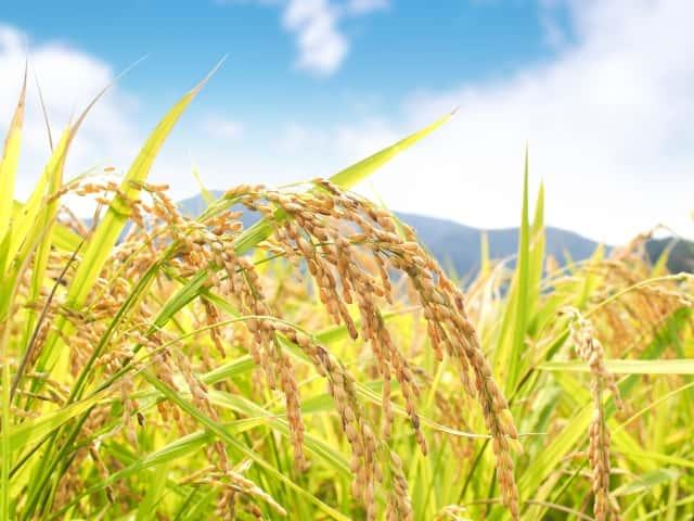 甘くて美味しいお米作りを支援