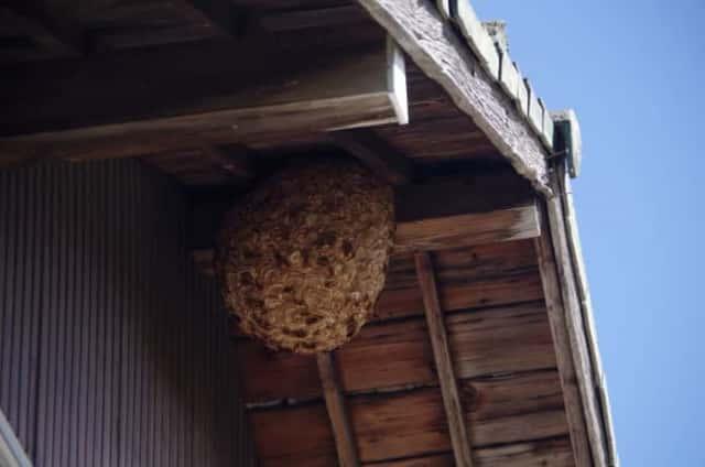 民家に作られたキイロスズメバチの巣