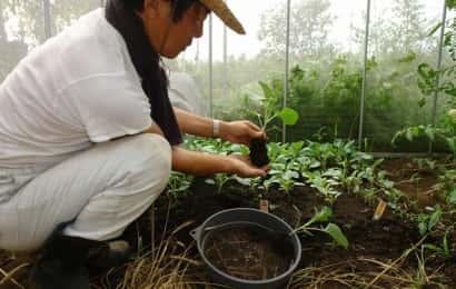 カリフラワーの苗の植え付け