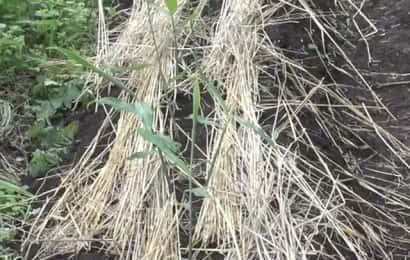 生姜畑の敷きワラ