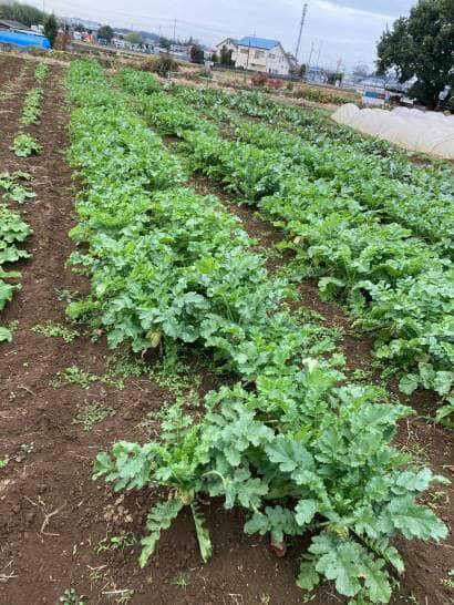 葉物野菜の畑