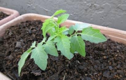 プランターにトマトの苗の植え付け
