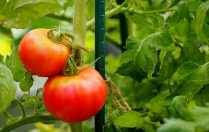 赤くなった大玉トマト