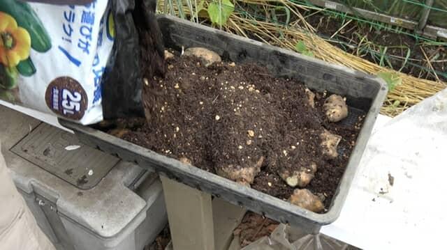 タネショウガの芽出し作業
