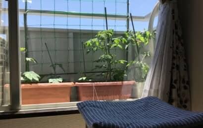 ベランダでトマトのプランター栽培