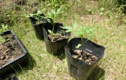 育苗ポットに鉢上げしたトマトの苗