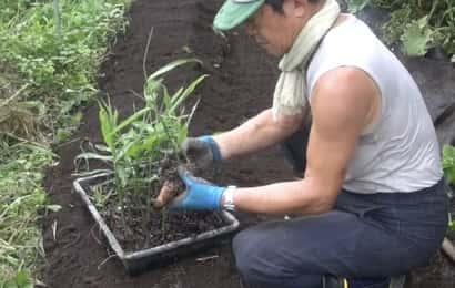 生姜の植え付け