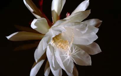 エピフィルム・オキシペダルムの花