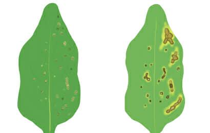 斑点細菌病におかされたホウレンソウの茎葉